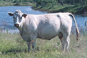 That is one sexy cow.